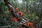 Orange Bracket fungus in Madagascar