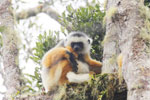 Diademed sifaka (Propithecus diadema)