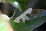 Moth [madagascar_perinet_0604]