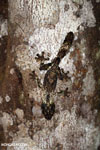 Mossy leaf-tailed gecko (Uroplatus sikorae)