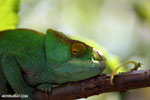 Green Parson's chameleon [madagascar_perinet_0657]