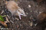 Common tenrec (Tenrec ecaudatus) bearing its fangs