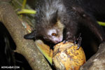 Aye-aye feeding on a coconut [madagascar_tamatave_0025]