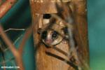 Dwarf lemur (Cheirogaleus sp) sharing a hole with a mouth lemur [madagascar_tamatave_0049]