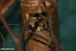 Dwarf lemur (Cheirogaleus sp) sharing a hole with a mouth lemur [madagascar_tamatave_0053]