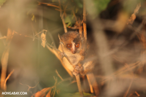 Golden Brown Mouse Lemur (Microcebus ravelobensis)