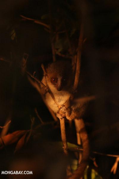 Golden Brown Mouse Lemur (Microcebus ravelobensis)