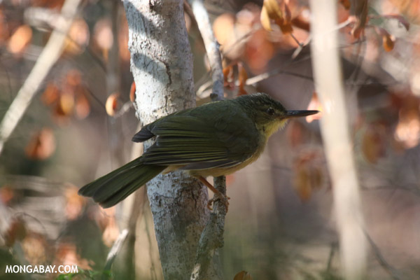 Long-billed Bernieria (Bernieria madagascariensis)