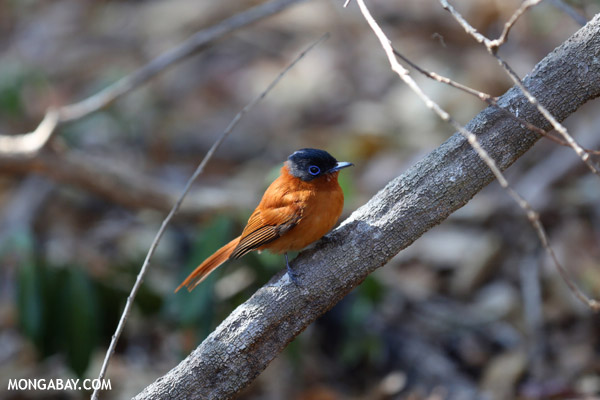Female Malagasy Paradise Flycatcher (Terpsiphone mutata)