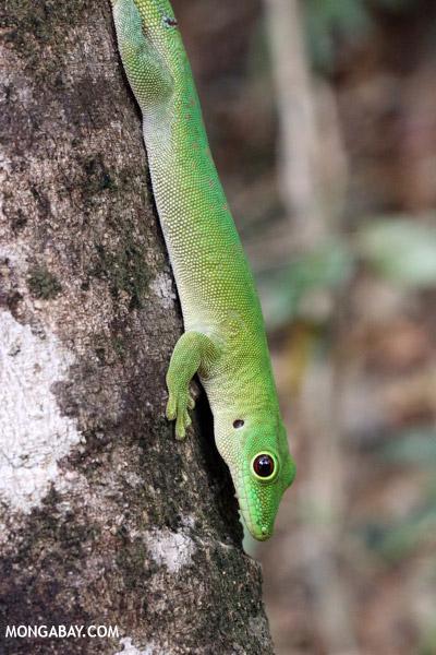 Madagascar giant day gecko (Phelsuma madagascariensis grandis)