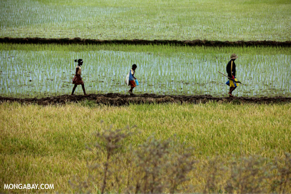 Locals walk across rice field in Madagascar. Photo by: Rhett A. Butler.