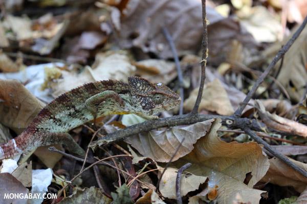 Oustalet's chameleon (Furcifer oustaleti)