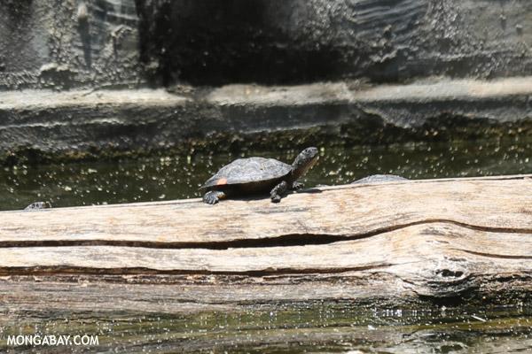 Malagasy big-headed turtle (Erymnochelys madagascariensis)