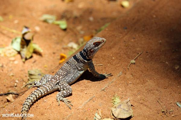 Madagascar spiny-tailed iguana