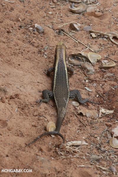 Zonosaurus laticaudatus with a forked tail