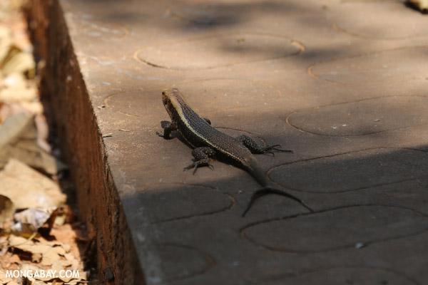 Zonosaurus laticaudatus lizard with a forked tail