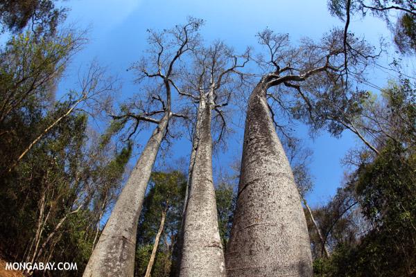 Adansonia madagascariensis baobab
