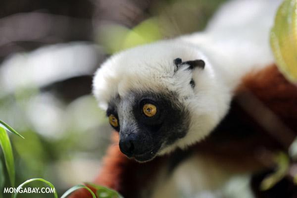 Coquerel's sifaka (Propithecus coquereli)