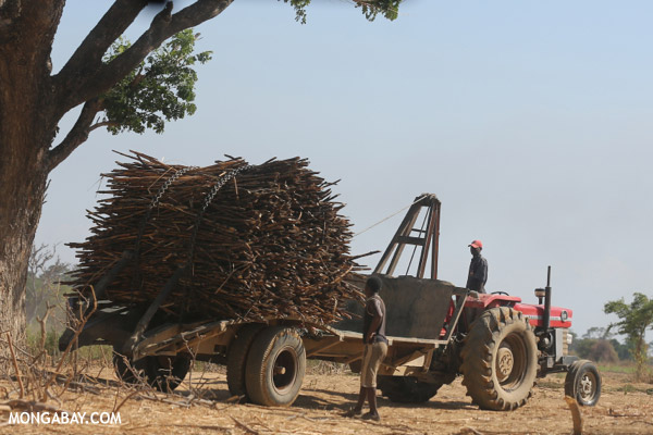 Sugar cane being stacked on a tractor