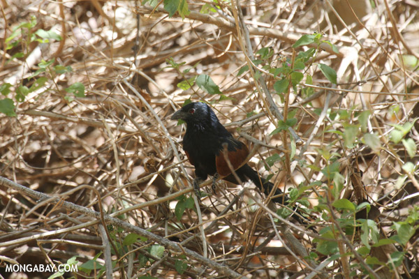 Madagascar Coucal (Centropus toulou)