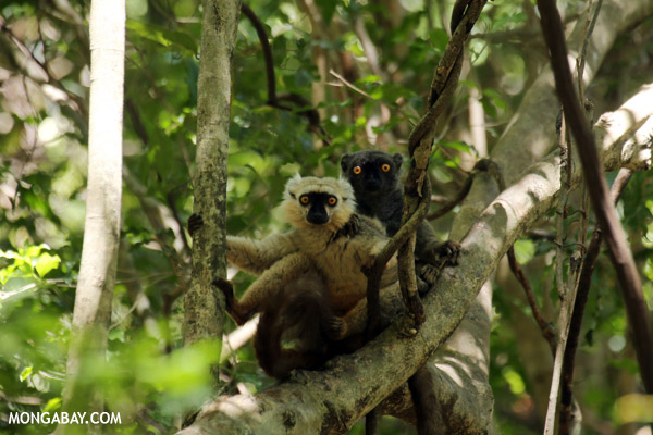 Pair of Sanford's brown lemur (Eulemur sanfordi)), which is considered Endangered. Photo by: Rhett A. Butler.