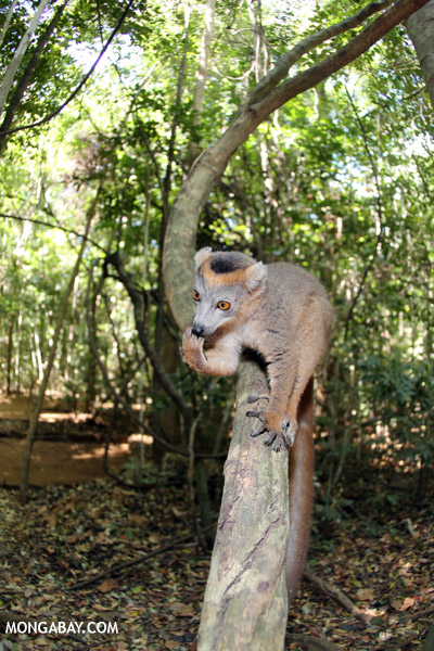 Crowned lemur (Eulemur coronatus) scavenging a campground