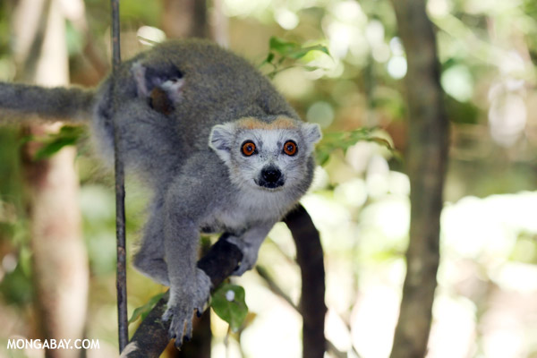 Female crowned lemur (Eulemur coronatus), listed as Vulnerable. Photo by: Rhett A. Butler.