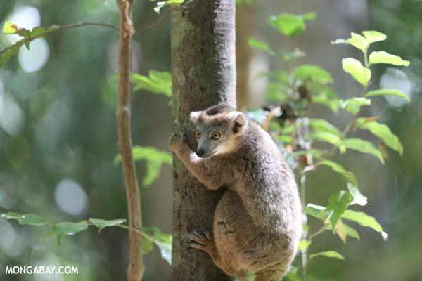 Juvenile crowned lemur (Eulemur coronatus)