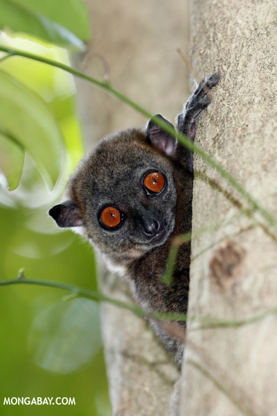 The Ankarana sportive lemur (Lepilemur ankaranensis) is listed as Endangered. Photo by: Rhett A. Butler.