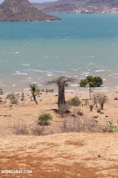 Baobab trees on the shore of Diego Suarez Bay