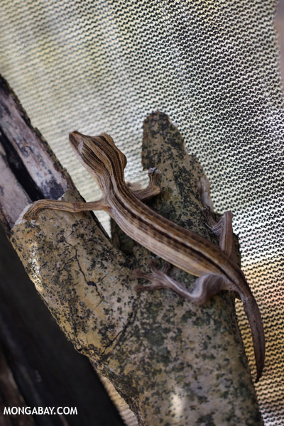 Uroplatus lineatus in captivity