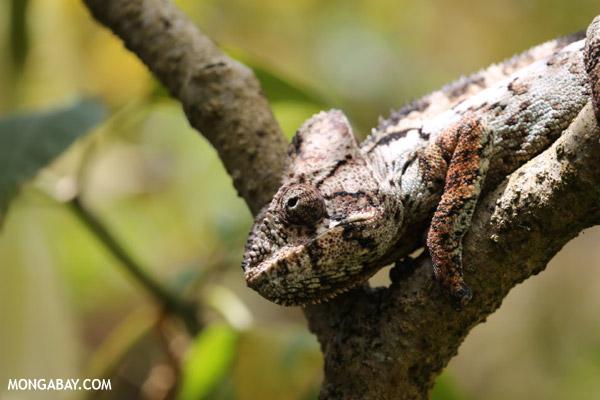 Oustalet's chameleon (Calumma parsonii)