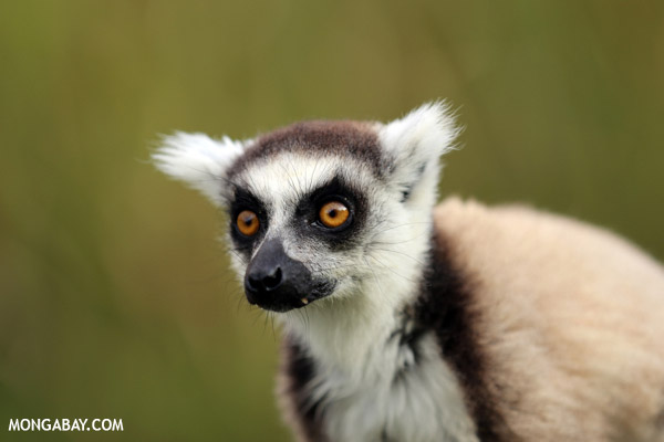 Ring-talked lemur: the national animal symbol of Madagascar. Photo by: Rhett A. Butler.