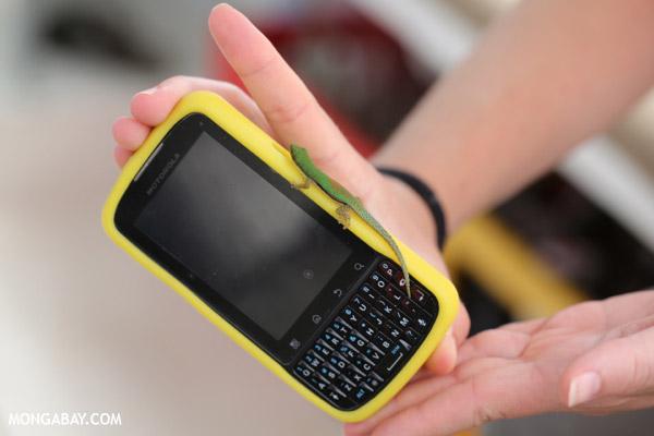 Phelsuma lineata day gecko on a mobile phone