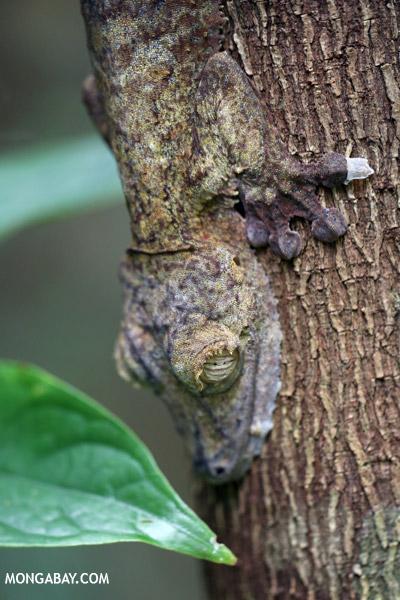 Uroplatus fimbriatus gecko