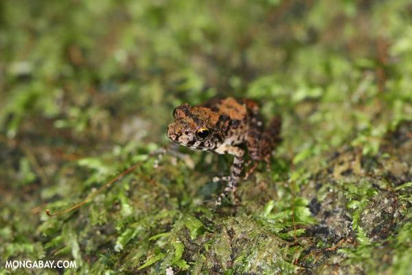 Gephyromantis moseri frog