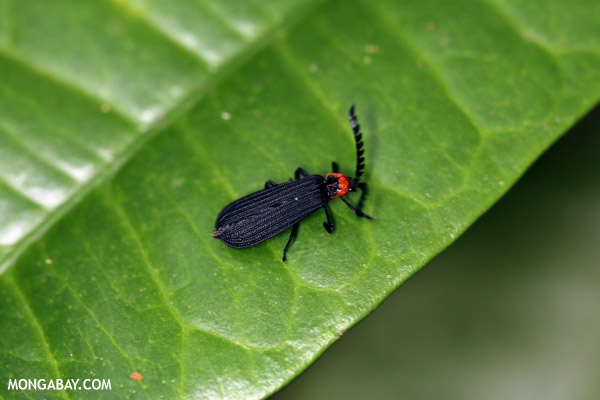 Black bug with a red head