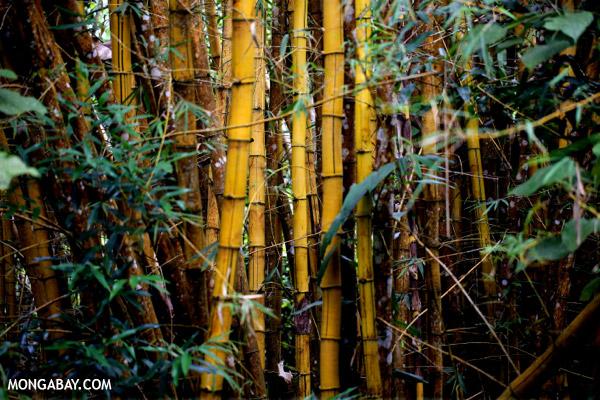 Bamboo in Madagascar