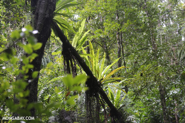 Birdnest ferns in Madagascar's rainforest