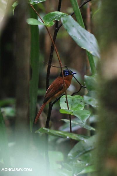 Female Madagascar paradise flycatcher