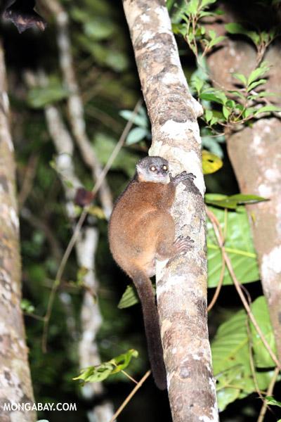Scott's Sportive Lemur (Lepilemur scottorum)