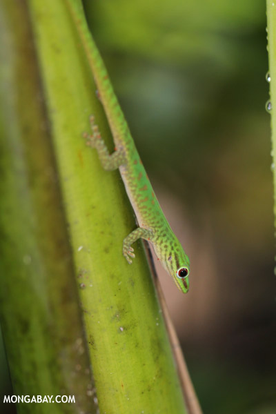 Wild Phelsuma guttata covered in mites