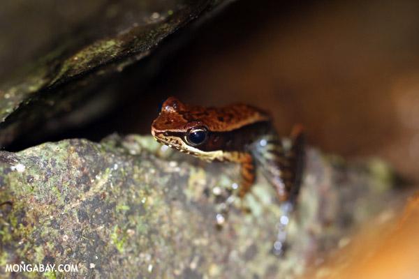 Mantidactylus opiparis