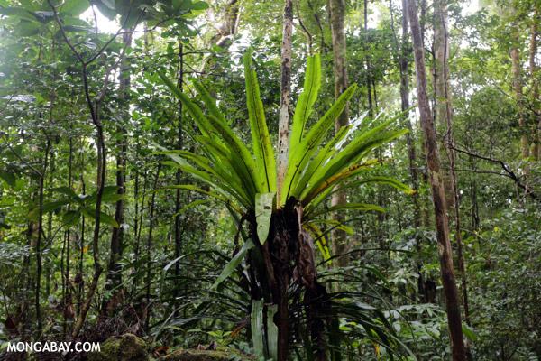Birdnest fern in Madagascar rainforest. Photo by: Rhett A. Butler.