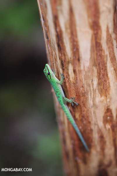 Speckled day gecko (Phelsuma guttata)