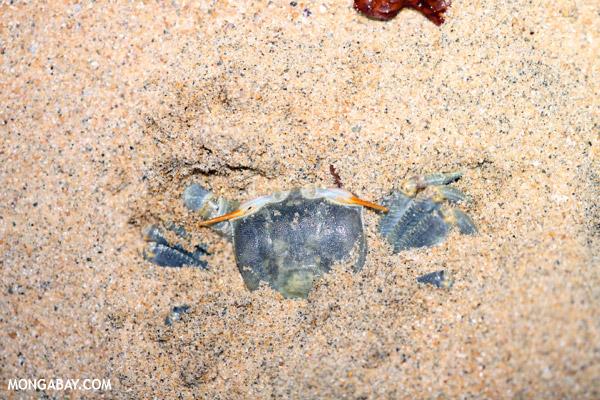 Blue crab in Madagascar