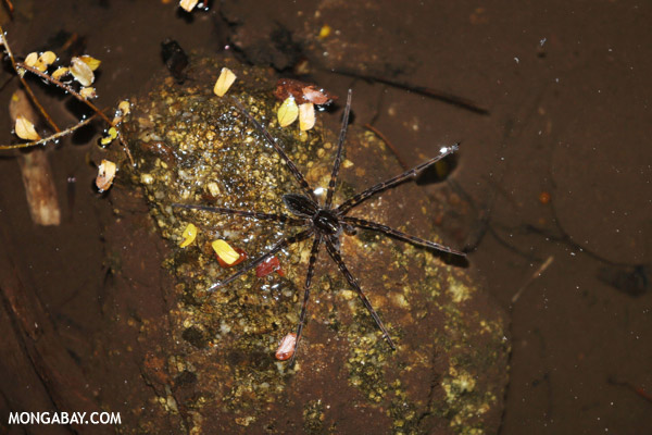 Fishing spider in Madagascar