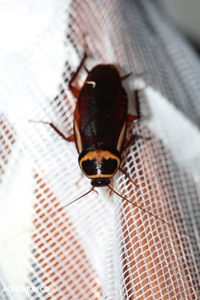 Giant cockroach in Madagascar