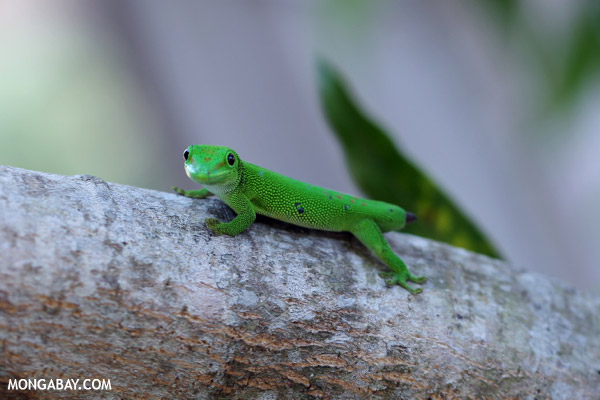 Tailess giant day gecko