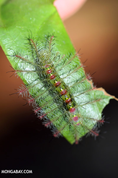 Yellow and pink caterpillar